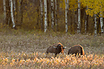 A Bull Plains Bison (Bison bison) sniffs the air and snorts during the fall Rut, Manitoba, Canada.