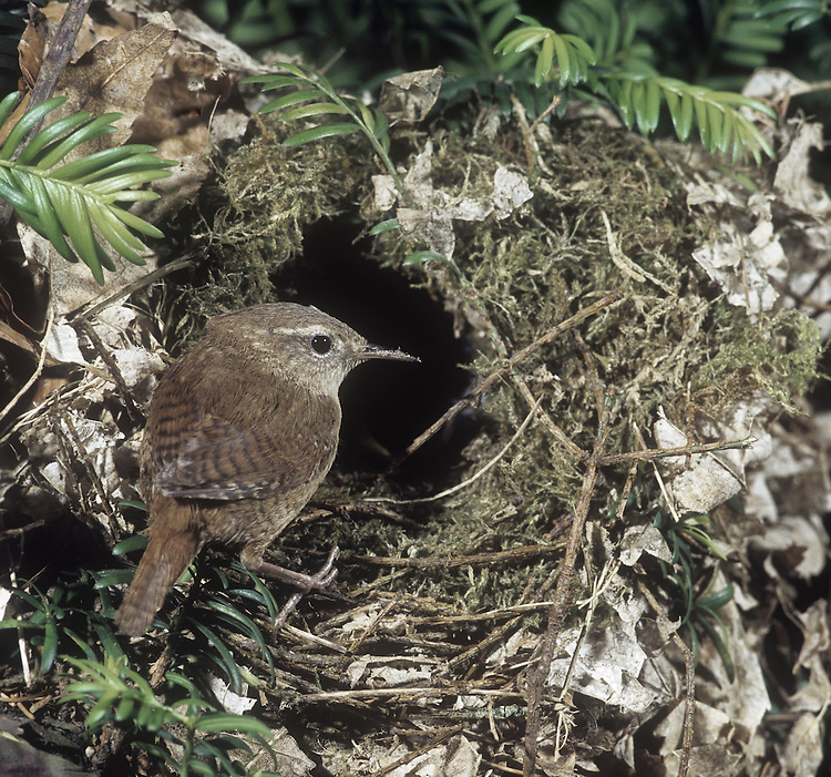 Wren Troglodytes troglodytes - at nest. L 9-10cm. Tiny, dumpy bird that cocks tail upright. Unobtrusive and often creeps through low vegetation. Call is distinctive. Sexes are similar. Adult and juvenile have dark reddish brown upperparts with barring on wings and tail. Underparts are greyish white with buff wash to flanks; note striking, pale supercilium. Bill is needle-like and legs are reddish. Voice Utters a loud, rattling alarm call; warbling song ends in a trill. Status Widespread resident of all sorts of habitats with dense undergrowth.