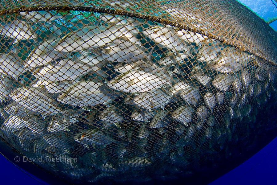 Almaco jack, Seriola rivoliana, in the pen at a fish farm off The Big Island, Hawaii.