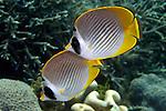 Chaetodon adiergastos, Panda butterflyfish, Raja Ampat, Indonesia