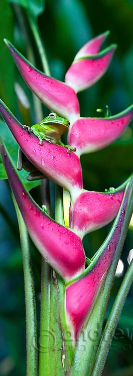 White-lipped tree frog (Litoria infrafrenata) on a heliconia flower.  Cairns, Queensland, Australia