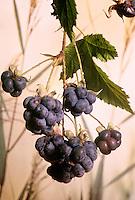 Kratzbeere, Acker-Brombeere, Früchte, Rubus caesius, European Dewberry