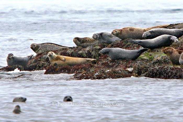 Harbor Seals on Peninsula  #W12