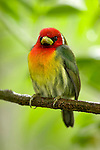Red-headed Barbet (Eubucco bourcierii), Costa Rica