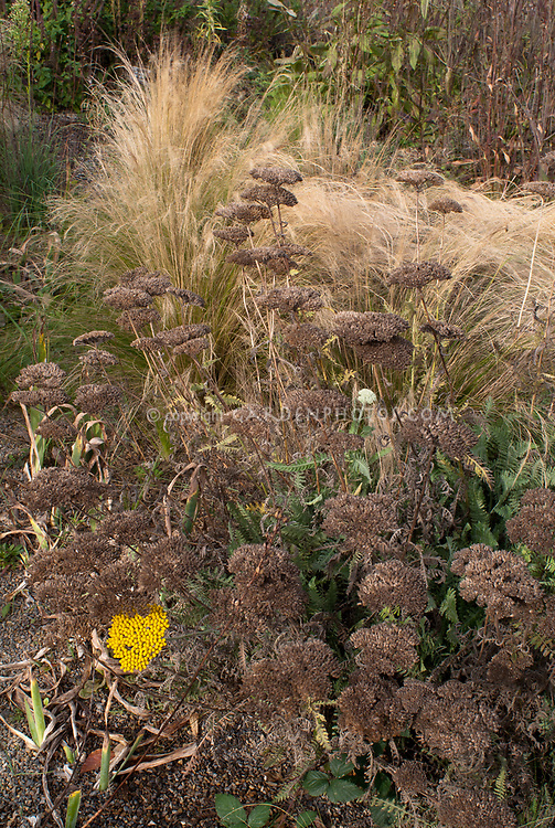 Achillea Coronation Gold dried dry seedheads in fall autumn with ornamental grass, perennials gone to seeds with ornamental grass Miscanthus sinensis Ferner Osten