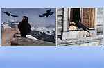 Ravens at Col Rodella Ski Area, Canazei, Italy.