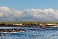 Blue-footed boobies congregate and dive over a school of fish, Santa Cruz Island, Galapagos Islands, Ecuador.