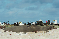endemic Hawaiian monk seal, Neomonachus schauinslandi ( Critically Endangered Species ), resting on beach with black-footed albatrosses, Phoebastria nigripes, masked boobies, and two sea turtle researchers in background, East Island, French Frigate Shoals, Papahanaumokuakea Marine National Monument, Northwest Hawaiian Islands, USA ( Central Pacific Ocean )
