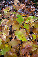 Epimedium x grandiflorum 'Princess Susan' in autumn fall foliage color