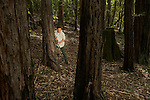 Mountain Lion (Puma concolor) biologist, Sean McCain, setting up camera trap in Coast Redwood (Sequoia sempervirens) forest, Santa Cruz Puma Project, Santa Cruz Mountains, California