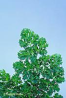 HS35-009x  Parsley - Forest Green variety - Petroselinum crispum