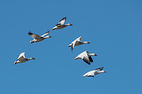 Snow Geese, Chen caerulescens, fly over Sacramento National Wildlife Refuge, California