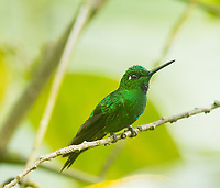 Green-crowned Brilliant; Heliodoxa jacula; Ecuador, Prov. El Oro, Buenaventura Biological Reserve