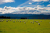 Sheep near Ohakune with Mt Ruapehu in the distance, Central Plateau North Island, New Zealand