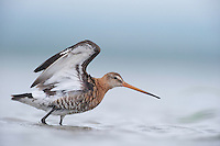 Black tailed godwits (Limosa Limosa) on the lake Belau in Moldova