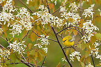 Male Blue-winged Warbler (Vermivora cyanoptera) in serviceberry bush.  Great Lakes Region.  May.  Warbler Migration.