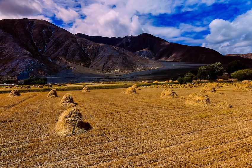Fields of barley, near Shigatse, Tibet (Xizang), China.