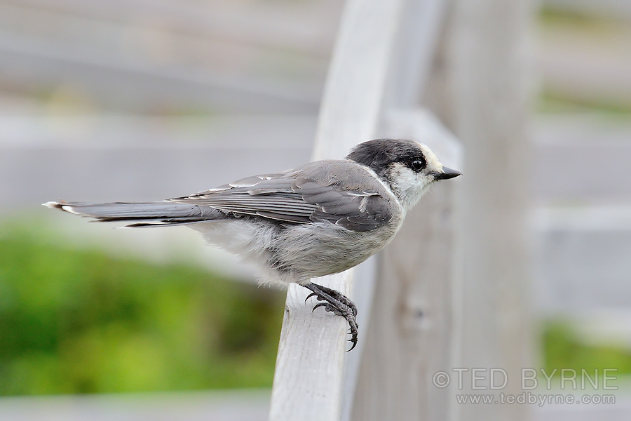 Gray Jay perched on a barrier