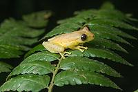 Narrow Headed Treefrog (Scinax elaeochrous) - Siquirres, Costa Rica.