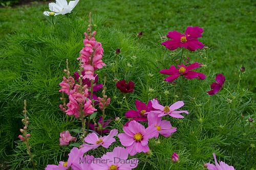 Beautiful pink flowers, Maine, USA