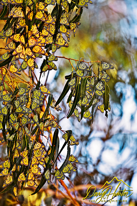Monarch Butterfly Cluster, Pismo Beach, California