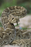 Western Diamondback Rattlesnake, Crotalus atrox, adult in defensive pose, Sinton, Texas, USA