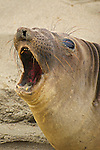 Female elephant seal (Mirounga angustirostris) California coast
