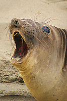 Female elephant seal (Mirounga angustirostris) California coast