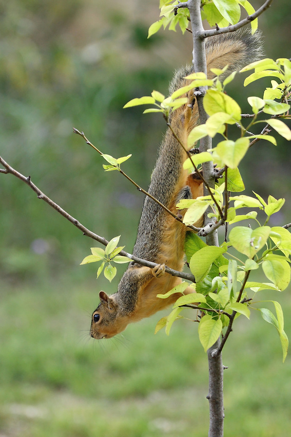 Fox Squirrel in a display of agility.