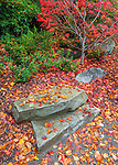 Seattle, WA<br /> Japanese maple in fall with fallen leaves decorating large stones at its base
