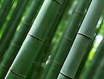 Closeup of green bamboo forest stems culms, abstract nature background. Arashiyama, Kyoto, Japan.