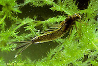 1E10-016x  Mayfly -nymph - Siphlonisca aerodromia - endangered insect found in floodplain of Maine stream