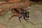 Vinegaroon, Mastigoproctus gigantaus, Texas Whip Scorpion, emits an formic acid from glands at abdomen which smells like vinegar.USA....