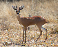 The steenbok is one of southern Africa's smaller antelope species.