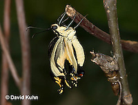 1020-0815  Giant Swallowtail Butterfly Recently Emerged from Chrysalis Drying Wings (Life Cycle Series), Papilio cresphontes © David Kuhn/Dwight Kuhn Photography.
