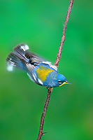 561000003 a wild adult northern parula setophaga americana - was parula american perches on a small plant stem while fluttering its wings in the rio grande valley of south texas