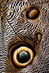 Close-up of the wing of an owl butterfly (Caligo mennon), Tucson Botanical Gardens, Tucson, Arizona (captive)