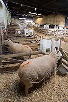 Ewes prepared for lambing - March