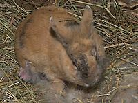 Zwergkaninchen, Zwerg-Kaninchen, Mutter säugt ein wenige Tage altes, noch blindes Junges, dwarf rabbit