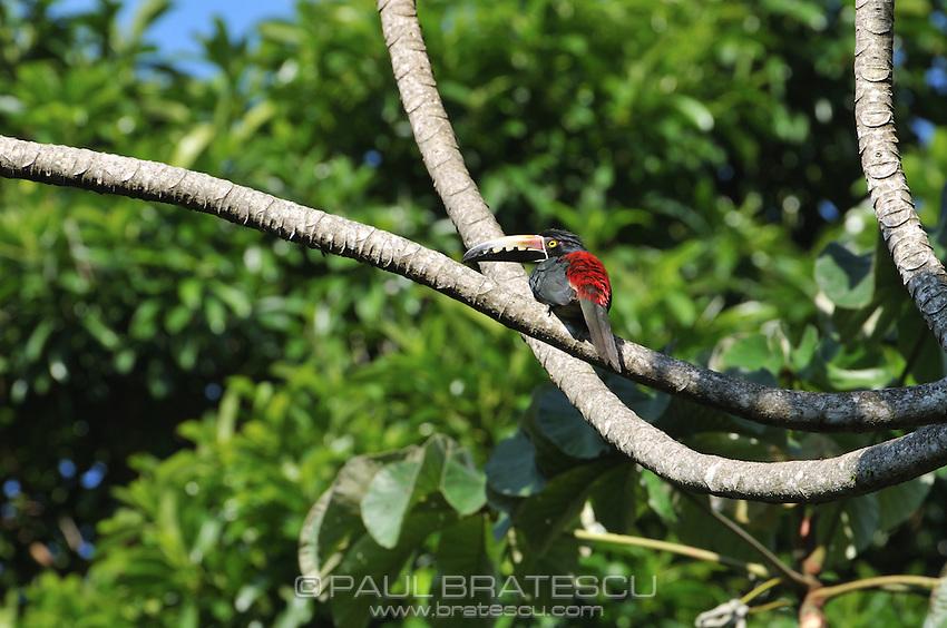 Collared Aracari, (Pteroglossus torquatus)