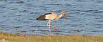 Yala National Park Sri Lanka<br /> Asian Open Bill Stork