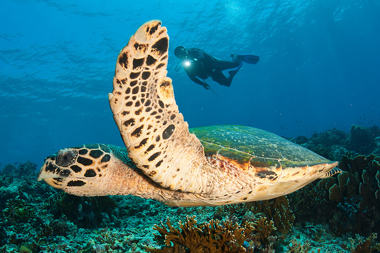 A diver swims over a Komodo reef with a Hawksbill turtle