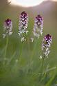 Burnt / Burnt-tip Orchid {Orchis ustulata} flowering in ancient alpine meadow at sunrise. Nordtirol, Austrian Alps. June.