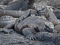 Two Galapagos marine iguanas seem to be embracing while sunning themselves.