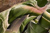 Oleanderschwärmer, Oleander-Schwärmer, Flügelausschnitt, Schuppen, Flügelschuppen, Daphnis nerii, Deilephila nerii, oleander hawk-moth, oleander hawkmoth, army green moth, Le Sphinx du laurier-rose. Schwärmer, Sphingidae, hawkmoths, hawk moths, sphinx moths, sphinx moth, hawk-moths, hawkmoth