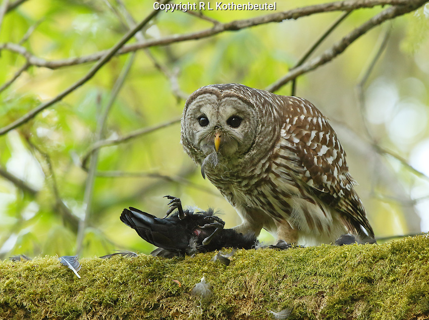 A barred owl captured one of the crows that was mobbing it and then proceeded to eat it.<br /> Edmonds, Washington<br /> 4/19/2015