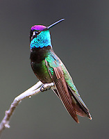 Adult male magnificent hummingbird