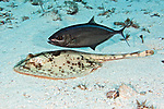 Urobatis jamaicensis, Yellow stingray, Cozumel, Mexico