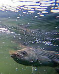 A rockfish snaps up a spot baitfish, and is reeled into a fishing boat for testing by the DNR.