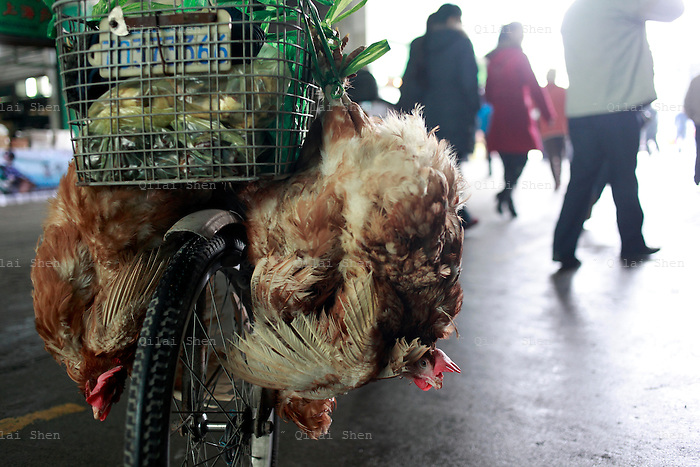 A man carries live chickens on the back of his bicycle at a wet market in Shanghai, China on 19 January, 2009. Chinese authorities said a second person this year has died from the H5N1 strain of bird flu in the country's Shandong Province, the news came during the most dangerous time of the year for the avian flu as the country's poultry consumption looks to spike during the traditional Chinese New Year holidays.